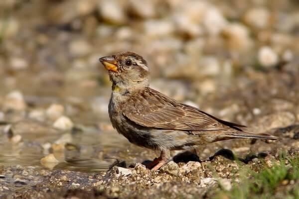 Животные и птицы Алжира с фото и описанием - Каменный воробей