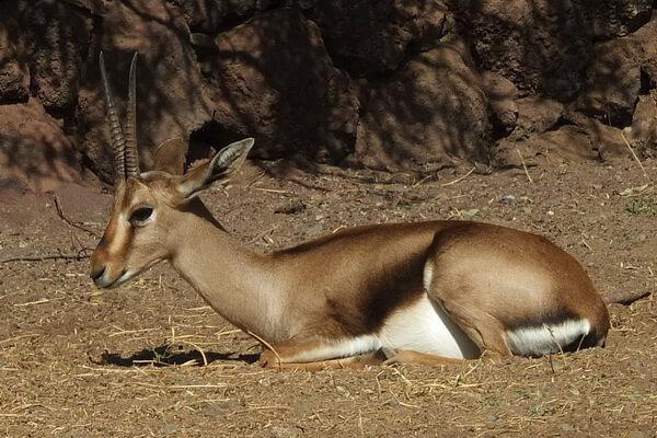 Животные Алжира с фото и описанием - Атласская газель или газель Кювье