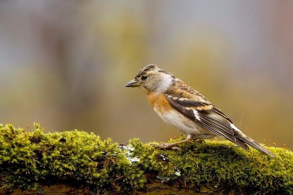 Животные и птицы Алжира с фото и описанием - Юрок или вьюрок