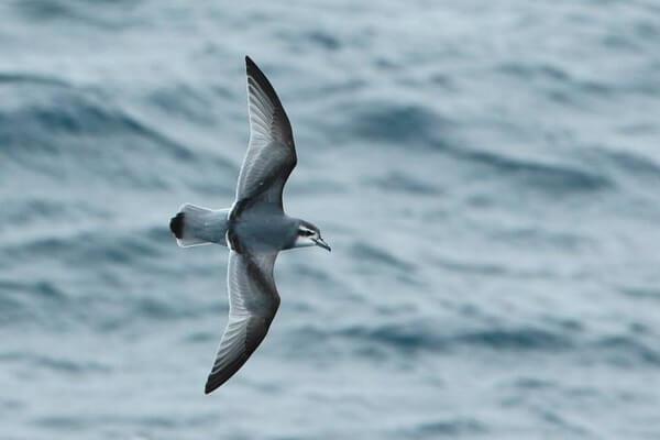 Фауна Антарктиды - Антарктическая китовая птичка