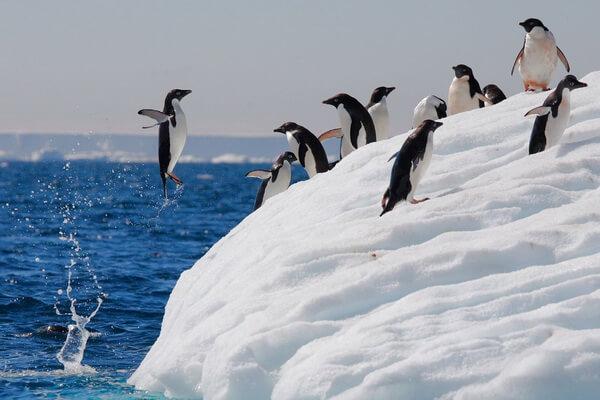 Фауна Антарктиды - Пингвин Адели