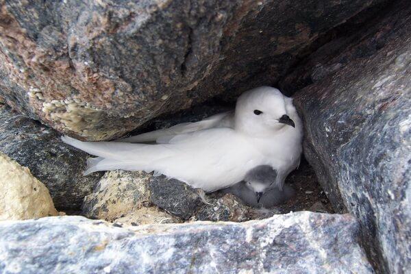 Птицы Антарктиды - Снежный буревестник