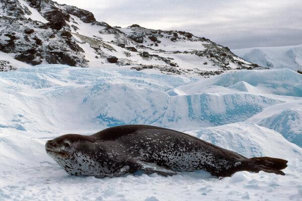Фауна Антарктиды - Морской леопард