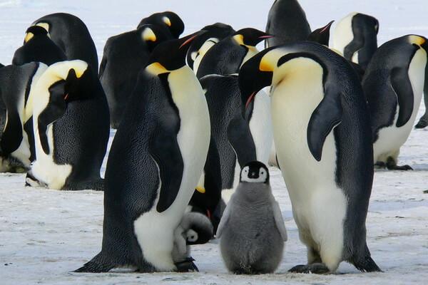 Птицы Антарктиды - Императорский пингвин