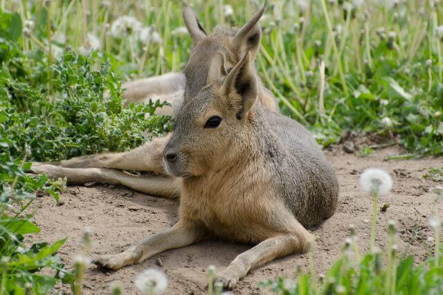 Животные Аргентины - фото, названия, описание