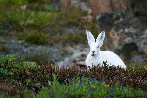 Животные Арктики с фото и описанием - Арктический беляк