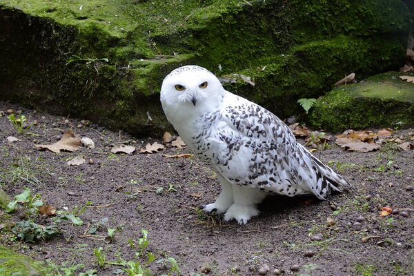 Животные Арктики с фото и описанием - Белая или полярная сова