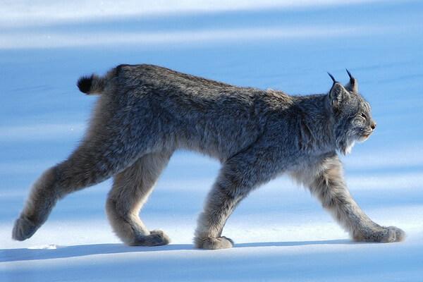 Животные Арктики с фото и описанием - Канадская рысь