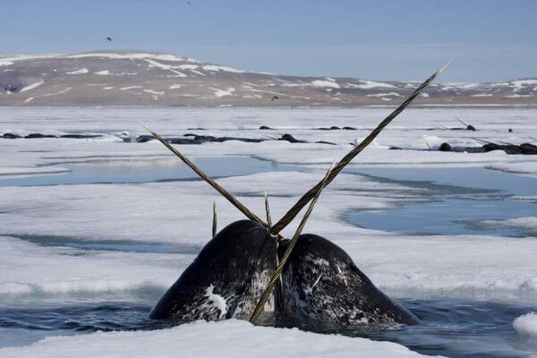 Животные Арктики с фото и описанием - Нарвал