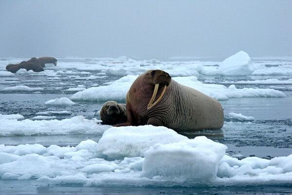 Животные Арктики с фото и описанием - Морж