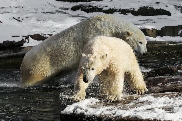 Животные Арктики с фото и описанием - Белые медведи