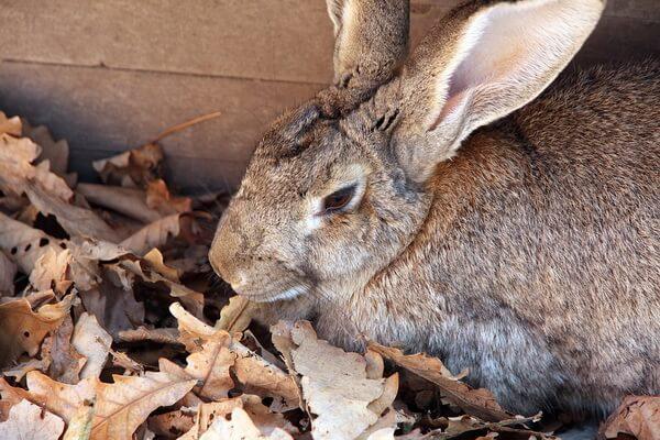 Животные Бельгии с фото и описанием - Кролик фландр (бельгийский великан)