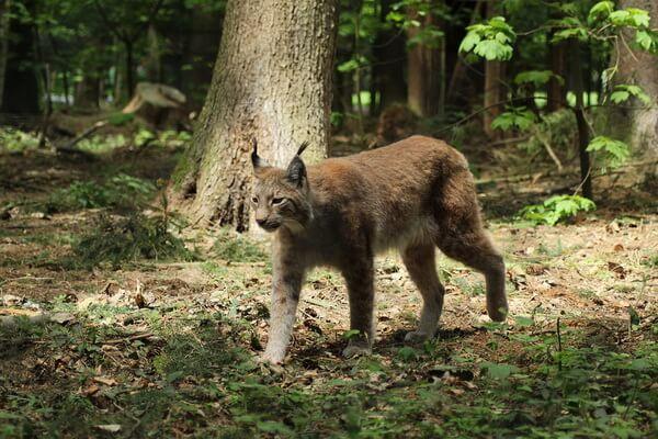 Животные Бельгии с фото и описанием - Рысь