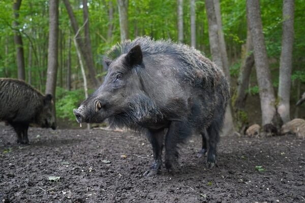 Животные Бельгии с фото и описанием - Вепрь (дикая свинья)