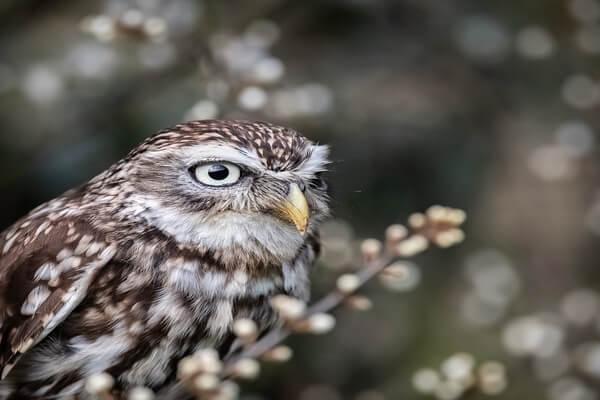 Животные Бельгии с фото и описанием - Домовой сыч