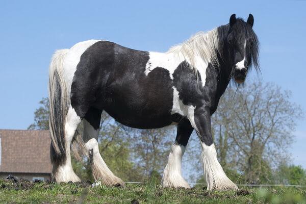 Животные Бельгии с фото и описанием - Брабансон или бельгийская тяжеловозная лошадь