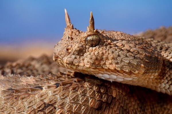 Животные Долины смерти в США с фото и описанием - Рогатый гремучник