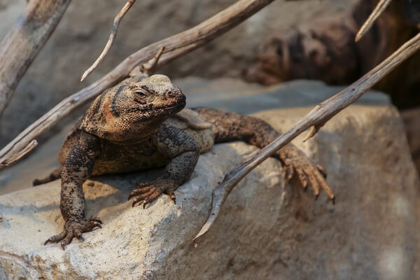 Животные Долины смерти в США с фото и описанием - Чаквелла