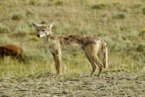 Животные Долины смерти в США с фото и описанием - Луговой волк (койот)
