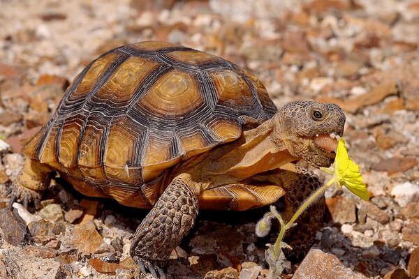 Животные Долины смерти в США с фото и описанием - Пустынный западный гофер