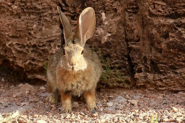 Животные Долины смерти в США с фото и описанием - Степной кролик