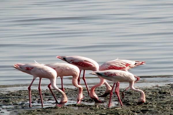 Животные Индии с фото и названиями - Розовый фламинго