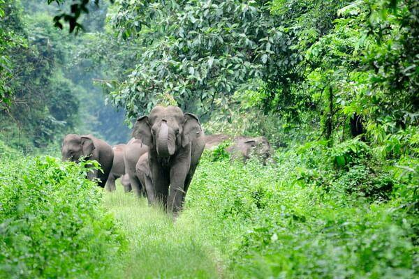 Животные Индии с фото и названиями - Азиатский или индийский слон