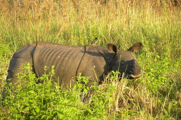 Животные Индии с фото и названиями - Индийский или панцирный носорог
