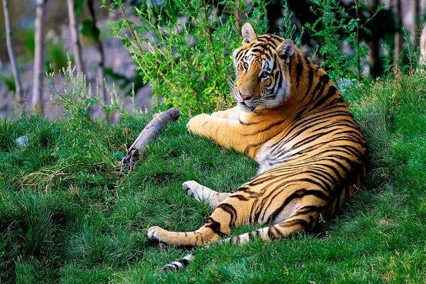 Животные Индии с фото и названиями - Бенгальский тигр
