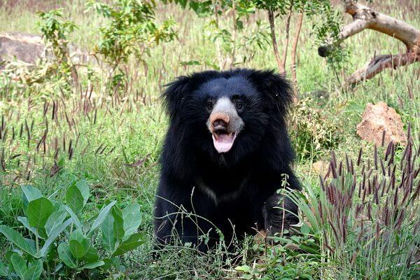 Животные Индии с фото и названиями - Губач