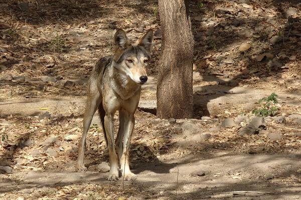 Животные Индии с фото и названиями - Гималайский волк