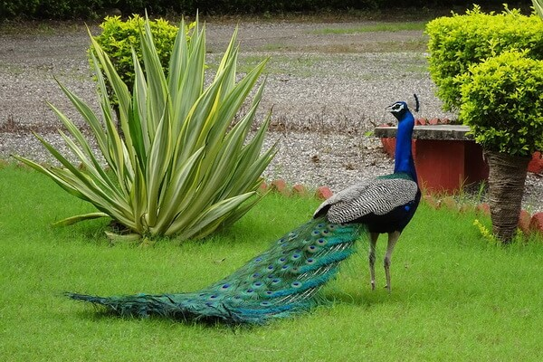 Животные Индии с фото и названиями - Павлин