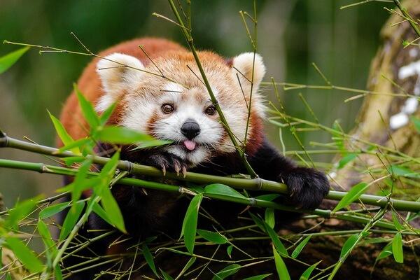 Животные Индии с фото и названиями - Малая или красная панда