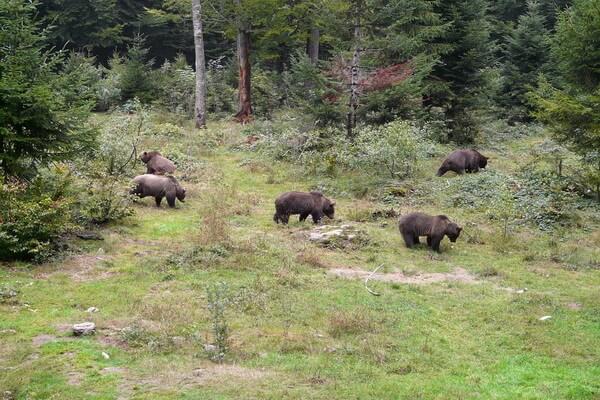 Фауна Камчатки - Бурый медведь