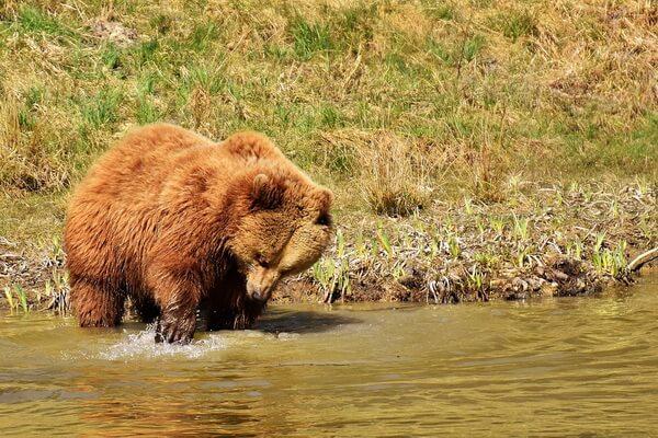 Животные Камчатки с фото и описанием - Бурый медведь