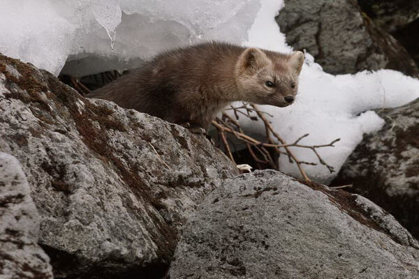 Фауна Камчатки - Камчатский соболь