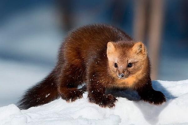 Животные Камчатки с фото и описанием - Камчатский соболь
