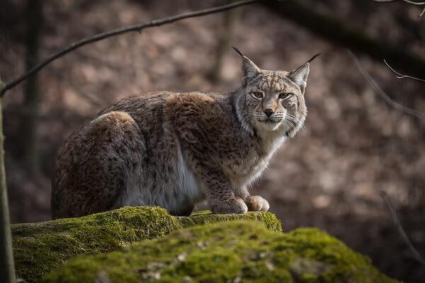 Животные Камчатки с фото и описанием - Рысь