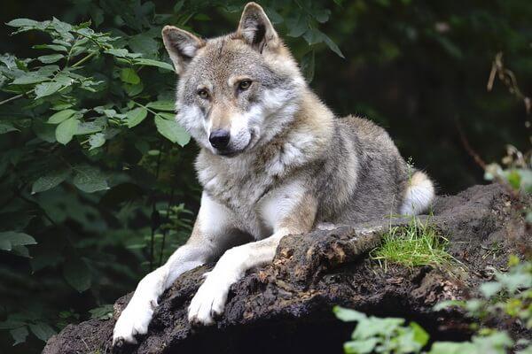 Животные Камчатки с фото и описанием - Волк
