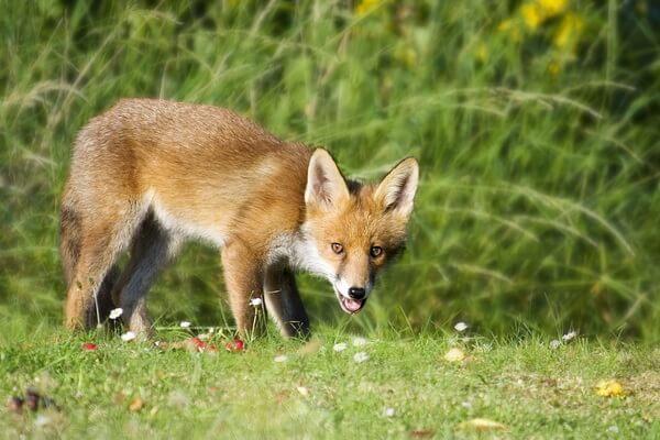 Животные Камчатки с фото и описанием - Обыкновенная лисица