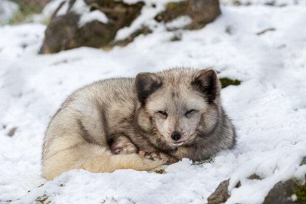 Животные Камчатки с фото и описанием - Песец