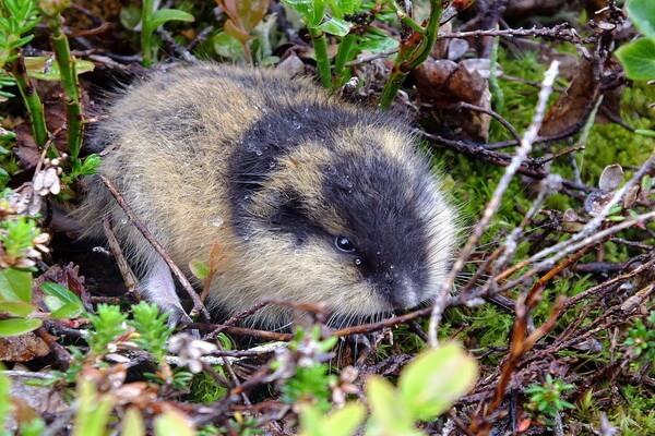 Животные Камчатки с фото и описанием - Лемминг