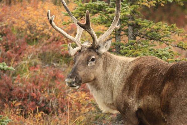 Животные Камчатки с фото и описанием - Северный олень