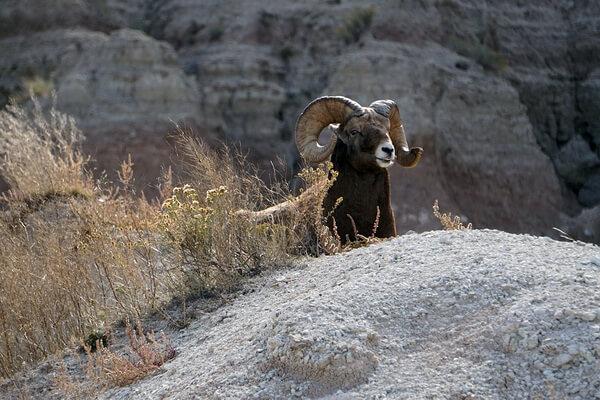 Животные Камчатки с фото и описанием - Снежный баран или толсторог