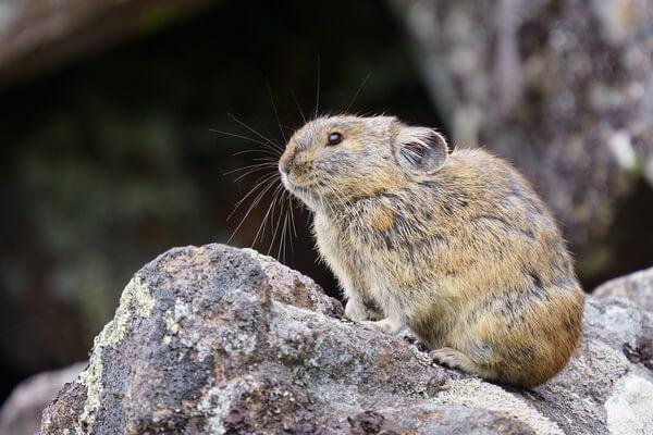 Животные Камчатки с фото и описанием - Пищуха северная