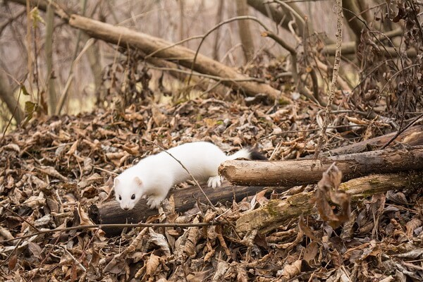 Животные Камчатки с фото и описанием - Горностай