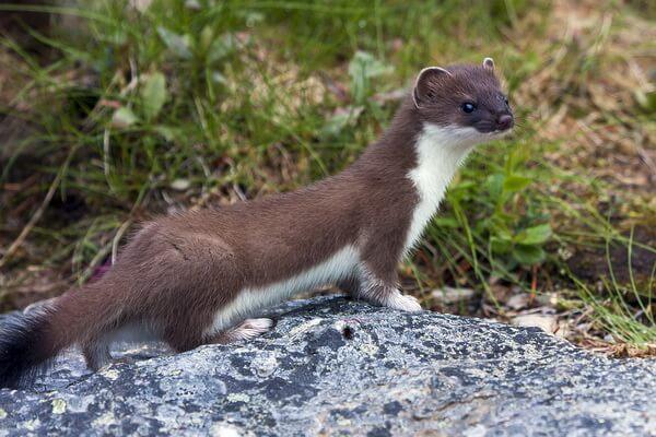 Животные Камчатки с фото и описанием - Ласка