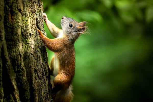 Фауна Камчатки с фото и описанием - Обыкновенная белка