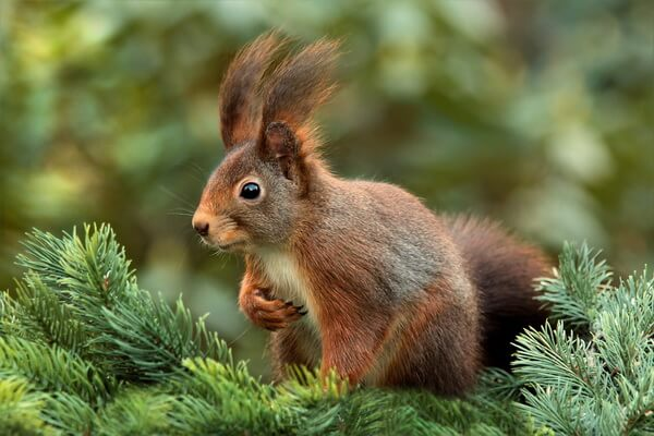 Животные Камчатки с фото и описанием - Обыкновенная белка