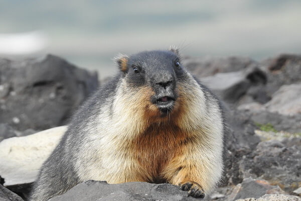Животные Камчатки с фото и описанием - Черношапочный или камчатский сурок (тарбаган)